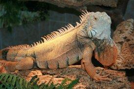 Grüner Leguan im Reptilienhaus Unteruhldingen